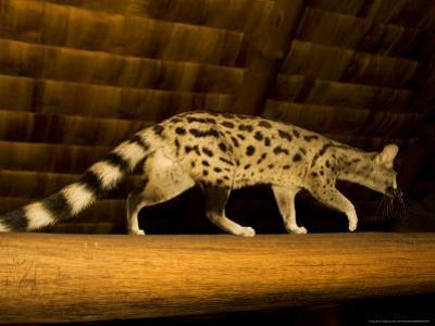 Small-Spotted Genet, Walking on Roof Beam in Lodge, Africa