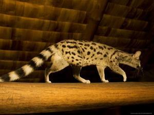 Small-Spotted Genet, Walking on Roof Beam in Lodge, Africa by Roy Toft