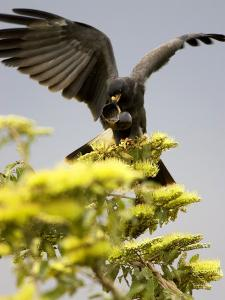 Snail Kite at Top of Tree with Apple Snail, Brazil by Roy Toft