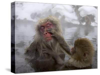 Snow Monkeys (Macaca Fuscata) Bathing in Natural Hot Springs