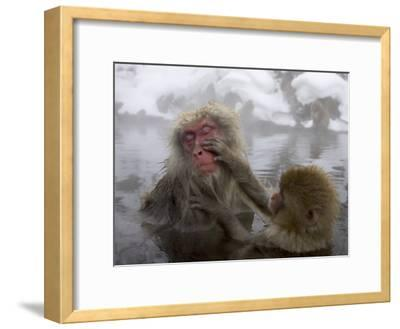 Snow Monkeys (Macaca Fuscata) Bathing in Natural Hot Springs