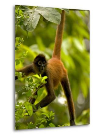 Spider Monkey (Ateles Geoffroyi) Hangs by Tail with Mouth Open