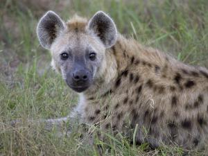 Spotted Hyena Resting on a Grassy Plain by Roy Toft