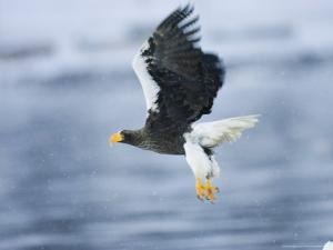 Stellars Sea Eagle, Flying Over Water with Talons Extended, Japan by Roy Toft