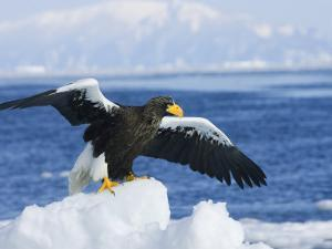 Stellars Sea Eagle, Wings Open About to Take-Off, Japan by Roy Toft