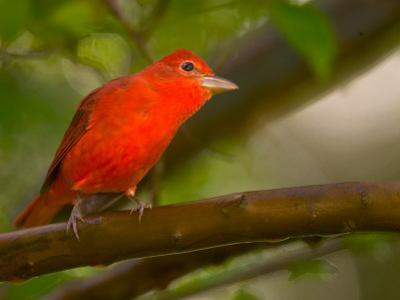 Summer Tanager (Piranga Rubra) Perched on Branch in Forest