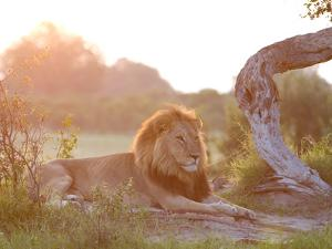 Sunlight Warms an African Lion Laying at Rest by Roy Toft
