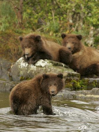 Three Alaskan Brown Bear Cubs (Ursus Arctos) Fishing for Salmon