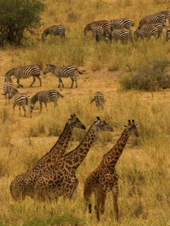 Three Masai Giraffe in Foreground with a Herd of Common Zebras Behind by Roy Toft