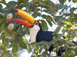 Toco Toucan, Ramphastos Toco, Eating Palm Nuts by Roy Toft