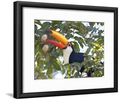 Toco Toucan, Ramphastos Toco, Eating Palm Nuts