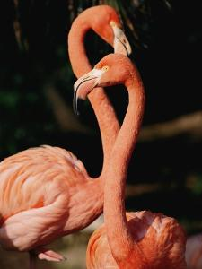 Two Captive Chilean Flamingos by Roy Toft