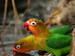 Two Fishers Lovebirds Drinking Water (Agapornis Fischeri) by Roy Toft