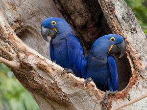Two Hyacinth Macaws, Anodorhynchus Hyacinthinus, in a Tree by Roy Toft