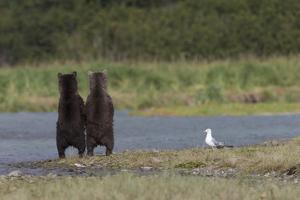 Two Juvenile Brown Bears, Ursus Arctos, Searching for Salmon at Water's Edge by Roy Toft