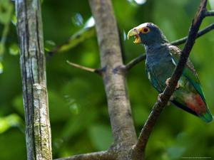 White-Crowned Parrot, Parrot Perched on Branch with Beak Open, Costa Rica by Roy Toft