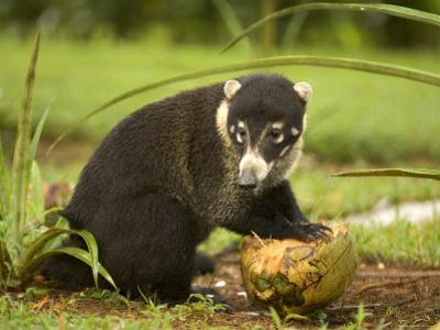 White-Nosed Coati (Nasua Narica) Opening Coconut with Front Paws by Roy Toft