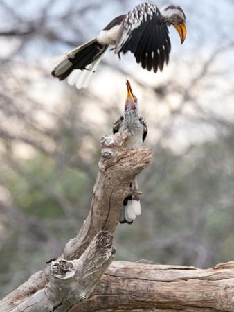 Yellow-Billed Hornbills, One Flying, Another Perched on a Tree Branch