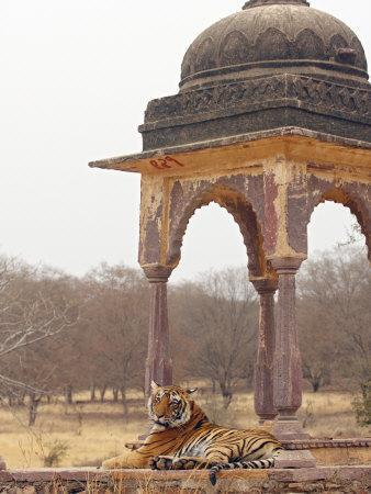 Royal Bengal Tiger At The Cenotaph, Ranthambhor National Park, India-Jagdeep Rajput-Photographic Print