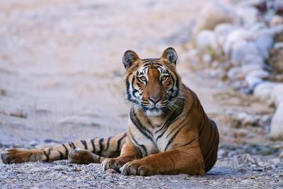 Royal Bengal Tiger by the Ramganga River, Corbett NP, India-Jagdeep Rajput-Photographic Print