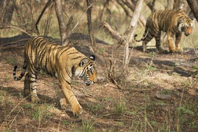 Royal Bengal Tiger (Tigris Tigris) Cubs, Ranthambhore, Rajasthan, India-Janette Hill-Photographic Print