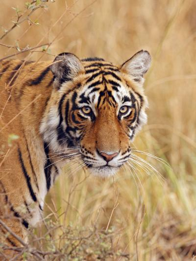 Royal Bengal Tiger Watching, Ranthambhor National Park, India-Jagdeep Rajput-Photographic Print