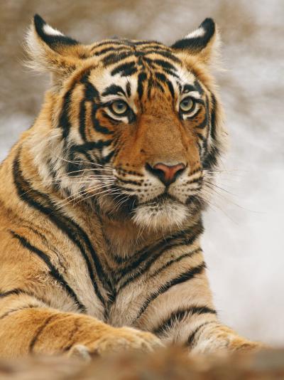 Royal Bengal Tiger Watching, Ranthambhor National Park, India-Jagdeep Rajput-Photographic Print