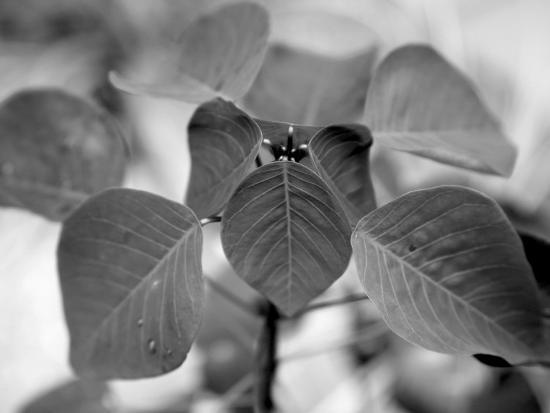 Royal Burgundy Leaves I-Nicole Katano-Photo