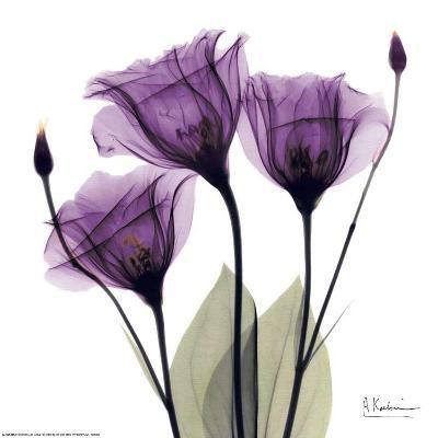 Royal Purple Gentian Trio-Albert Koetsier-Art Print