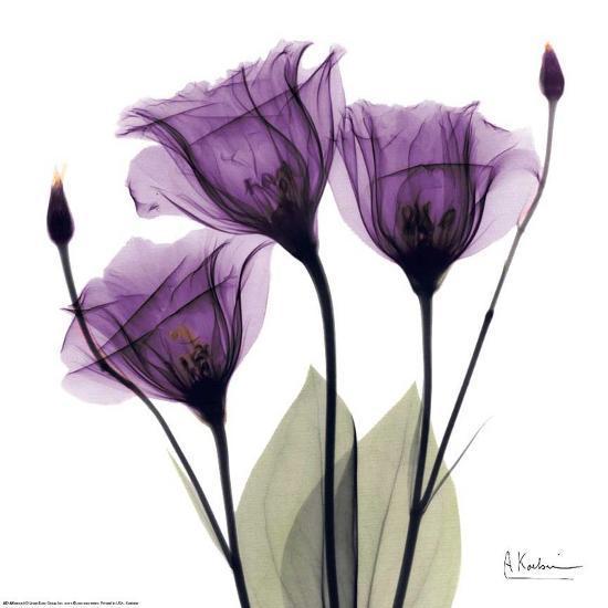 Royal Purple Gentian Trio-Albert Koetsier-Art Print
