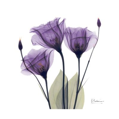 Royal Purple Gentian Trio-Albert Koetsier-Premium Giclee Print