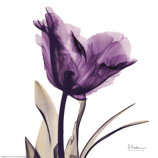 Royal Purple Parrot Tulip-Albert Koetsier-Art Print
