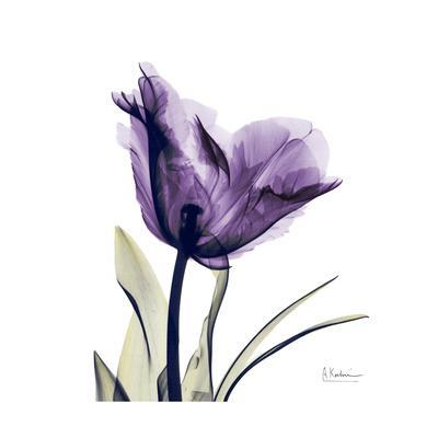 https://imgc.artprintimages.com/img/print/royal-purple-parrot-tulip_u-l-pyjq9e0.jpg?p=0