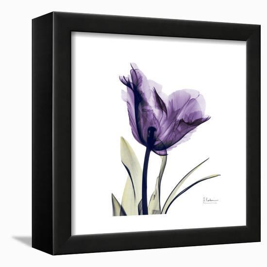Royal Purple Parrot Tulip-Albert Koetsier-Framed Stretched Canvas Print