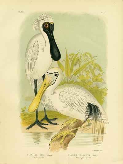 Royal Spoonbill, 1891-Gracius Broinowski-Giclee Print