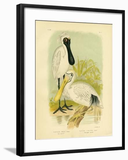 Royal Spoonbill, 1891-Gracius Broinowski-Framed Giclee Print