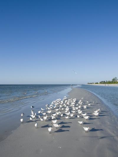 Royal Tern Birds on Beach, Sanibel Island, Gulf Coast, Florida-Robert Harding-Photographic Print