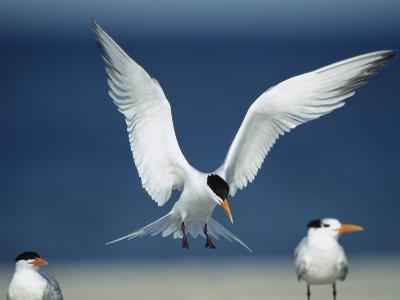 Royal Tern Descending in Flight-Klaus Nigge-Photographic Print