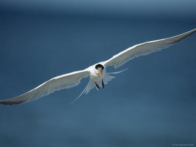 Royal Tern in Flight-Klaus Nigge-Photographic Print