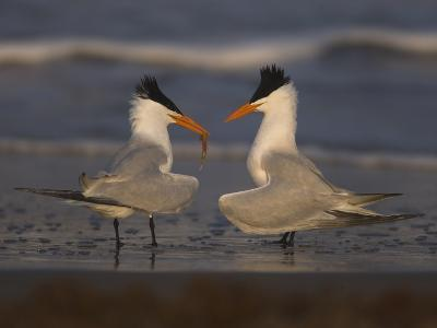 Royal Tern (Sterna Maxima) in Food Exchange Part of Courtship Display, Rio Grande Valley, Texas-Tom Vezo/Minden Pictures-Photographic Print