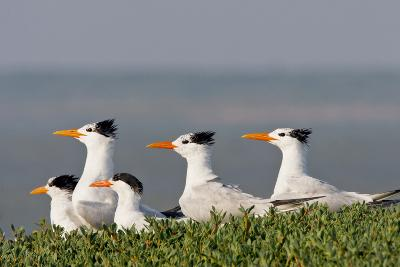 Royal Tern (Sterna Maxima) Nesting in a Colony, Texas, USA-Larry Ditto-Photographic Print