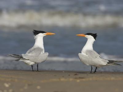 Royal Tern (Sterna Maxima) Pair on Beach, Rio Grande Valley, Texas-Tom Vezo/Minden Pictures-Photographic Print