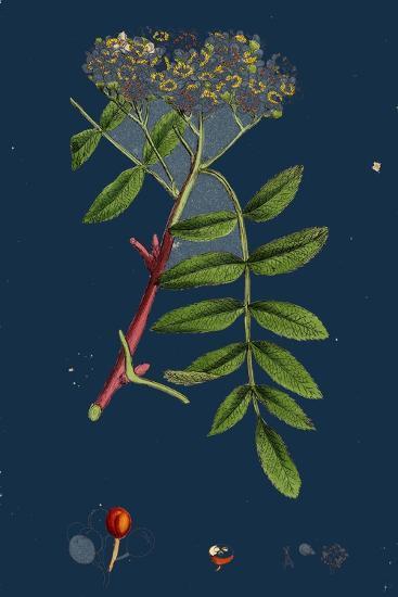 Rubus Chamaemorus; Cloudberry--Giclee Print