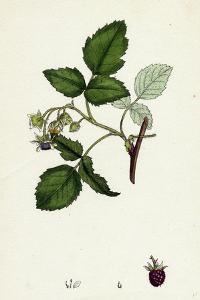 Rubus Idaeus Raspberry