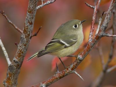 Ruby Crowned Kinglet, Adult in Black Hawthorn, Grand Teton National Park, Wyoming, USA-Rolf Nussbaumer-Photographic Print