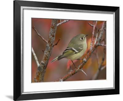 Ruby Crowned Kinglet, Adult in Black Hawthorn, Grand Teton National Park, Wyoming, USA-Rolf Nussbaumer-Framed Photographic Print