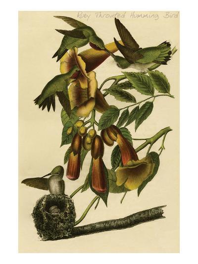Ruby Throated Humming Bird-John James Audubon-Art Print