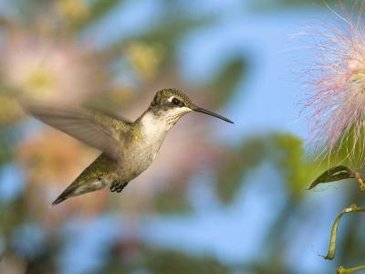 Ruby-Throated Hummingbird (Archilochus Colubris) at Mimosa-Steve Maslowski-Photographic Print