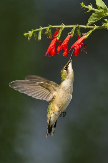 Ruby-Throated Hummingbird (Archilochus Colubris) Feeding, Texas, USA-Larry Ditto-Photographic Print