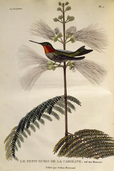 Ruby-Throated Hummingbird (Archilochus Colubris)--Giclee Print